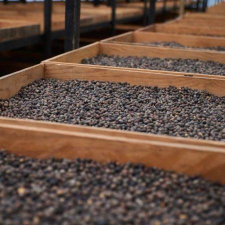 Kaffeekirschen bei der Trocknung - Qualitätskontrolle